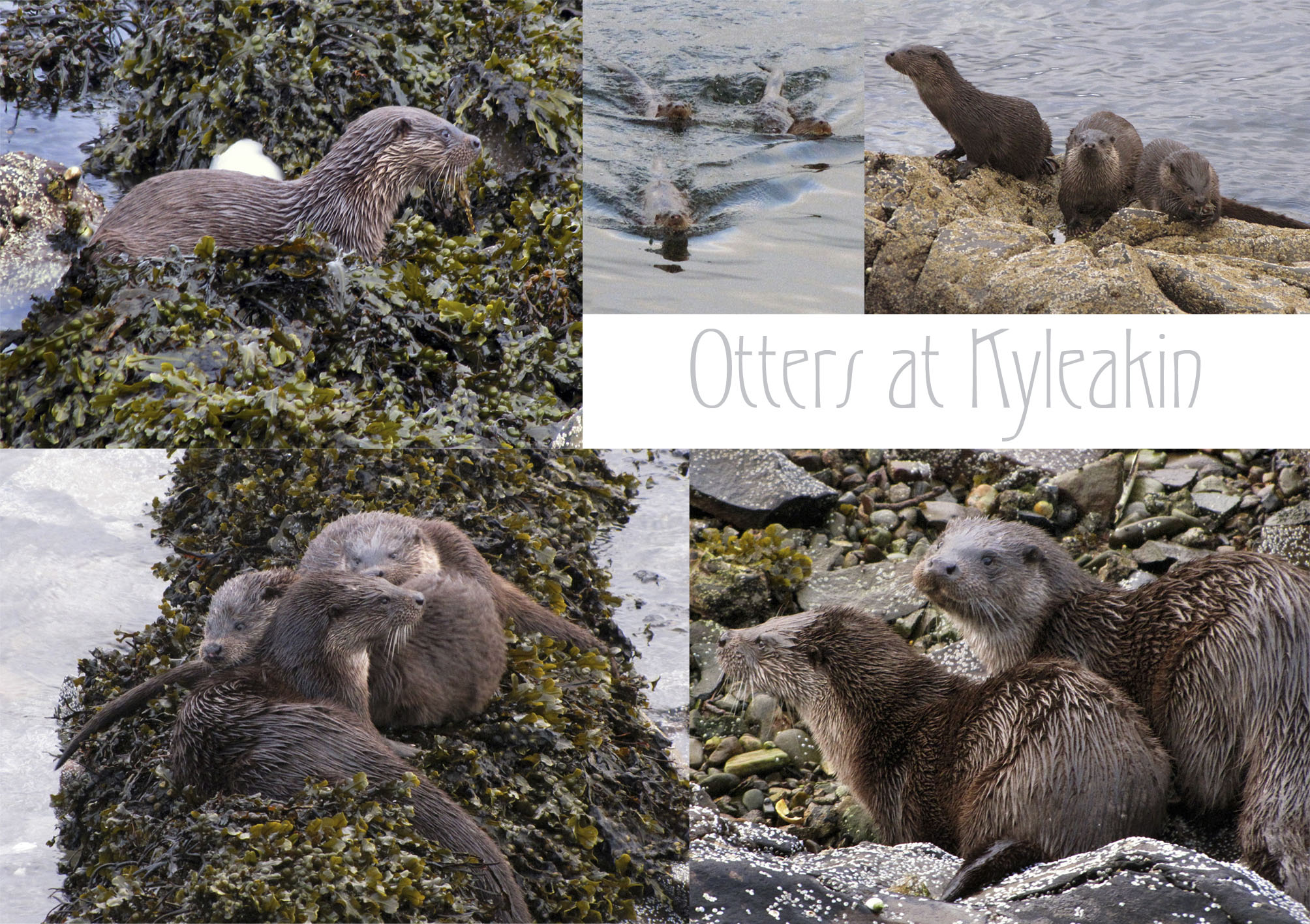 Otter Family at Kyleakin - click to see larger image
