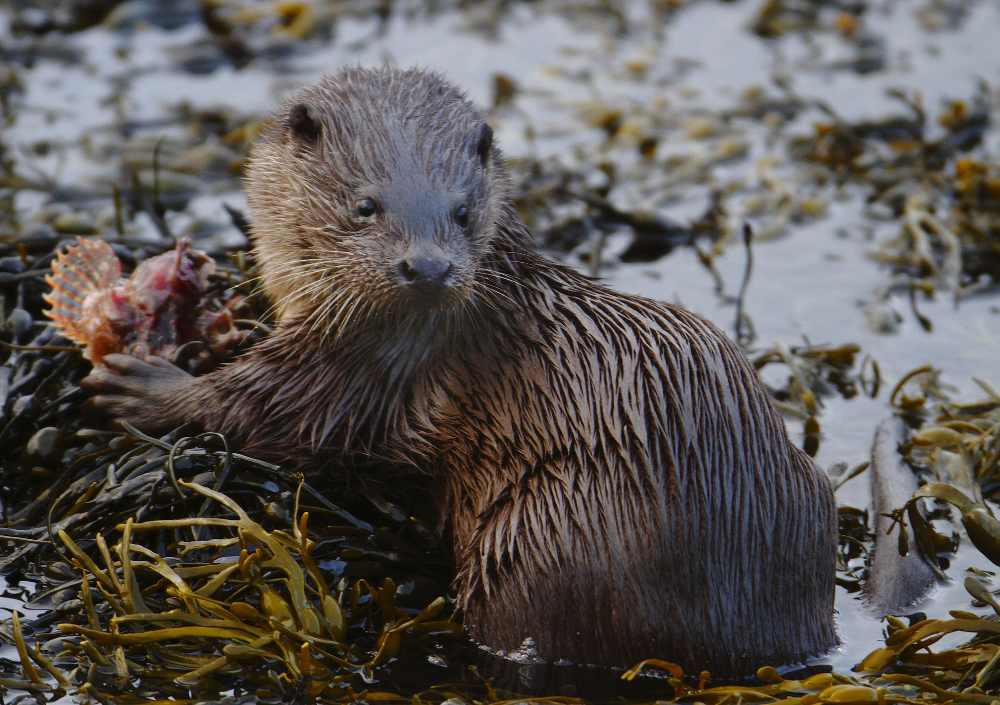 Otter Feeding on Eilean Bàn - click to see larger image