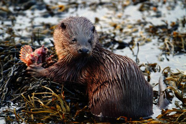 Otter chewing on a Scorpion Fish